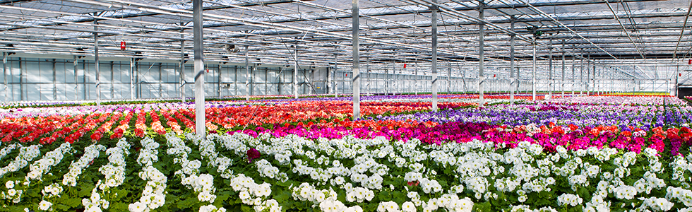 FlexiTrays®-being-used-to-grow-flowers-in-a-greenhouse